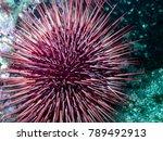 red sea urchin ...   Shutterstock . vector #789492913