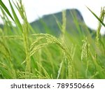 the green rice in the field. | Shutterstock . vector #789550666
