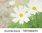 white cosmos flower blooming. | Shutterstock . vector #789588694