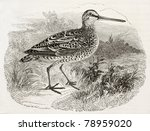Old Illustration Of A Woodcock...