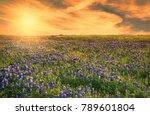 texas bluebonnet field blooming ... | Shutterstock . vector #789601804