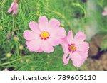 pink cosmos flower. | Shutterstock . vector #789605110