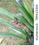 Small photo of Young Cicada moulting hanging on leaves