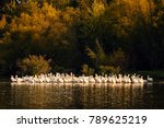 White Pelicans On The Shorelin...