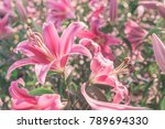 beautiful pink lily in the... | Shutterstock . vector #789694330