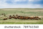 Herd Of Grazing Cows On A Vast...