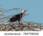 the african fish eagle  or to... | Shutterstock . vector #789798040