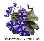 Collection African Violets....