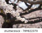 branch of cherry blossom   Shutterstock . vector #789822370