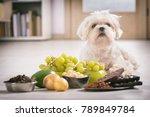 Little White Maltese Dog And...