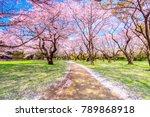 walkway under the sakura tree... | Shutterstock . vector #789868918