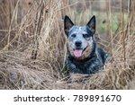 portrait of lying australian... | Shutterstock . vector #789891670