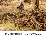 large male baboon with young... | Shutterstock . vector #789894220