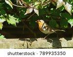 british robin  erithacus... | Shutterstock . vector #789935350