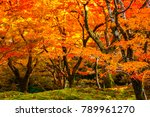 beautiful red maple leaves in... | Shutterstock . vector #789961270