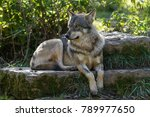 grey wolf animal | Shutterstock . vector #789977650
