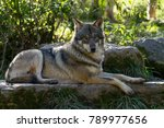 grey wolf animal | Shutterstock . vector #789977656