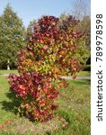 Small photo of American Sweet Gum Tree (Liquidambar styraciflua 'Burgundy') in a garden in Rural Devon, England, UK