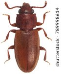 Small photo of foreign grain beetle Ahasverus advena Silvanidae isolated on a white background