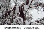 snow on black alder trees  | Shutterstock . vector #790005103