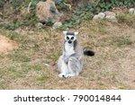 Lemur Catta  Ring Tailed Lemur...