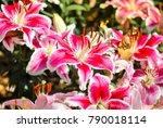 Lilly Flower In The Garden.