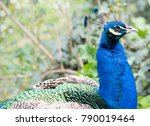 Peacock Portrait In Green Grass