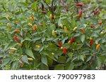 small chilli pepper bush growth | Shutterstock . vector #790097983