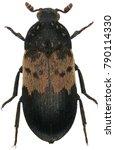 dermestes lardarius  commonly...   Shutterstock . vector #790114330