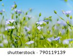 blue flowers of flax in a field ... | Shutterstock . vector #790119139