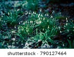 the first flowers snowdrops.  ... | Shutterstock . vector #790127464