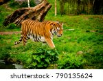 tiger in forest. tiger portrait | Shutterstock . vector #790135624