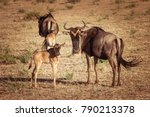 Small photo of Africa. Kenya. A herd of wildebeest. Antelope Gnu looks at the camera. Hatchling antelopes. Preserve in Kenya. Animals of Africa.