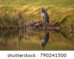 great blue heron bird  ardea... | Shutterstock . vector #790241500