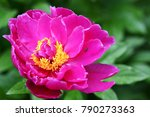 pink peony with   small bug  in ...   Shutterstock . vector #790273363