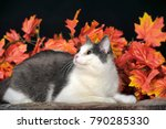 gray with white cat and autumn... | Shutterstock . vector #790285330