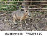 Patagonian Mara Animal