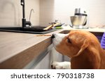 beagle dog want to steal yummy... | Shutterstock . vector #790318738