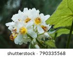 Small photo of Malvaceae. Sparmannia africana, known as African hemp, African linden.