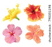beautiful hibiscus flowers on... | Shutterstock .eps vector #790351198