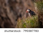 puffin birds in iceland | Shutterstock . vector #790387783