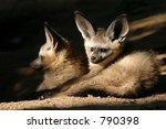 two bat eared fox cubs  otocyon ... | Shutterstock . vector #790398