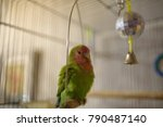Small photo of One green parrot Agapornis (lovebird) in a close-up cage