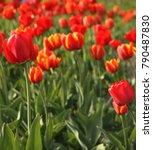 field of yellow tulips | Shutterstock . vector #790487830