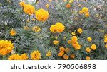 Small photo of Beautiful Marrigold Flowers From a Garden of Chapra