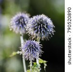 Globe Thistle Its Spiky Head...