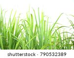 sugarcane leaf on isolated... | Shutterstock . vector #790532389