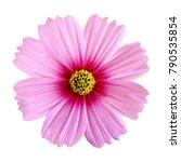 beautiful pink cosmos flower... | Shutterstock . vector #790535854