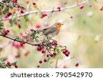 european robin  erithacus... | Shutterstock . vector #790542970