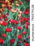 flower tulips background....   Shutterstock . vector #790579138